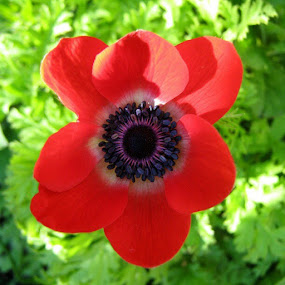 in by Carly Louise - Novices Only Flowers & Plants ( poppy, nofilter, spring, Lincolnshire, UK, flower, sunnydays )