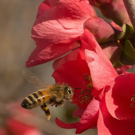Bee by Ray Ebersole - Animals Insects & Spiders ( out door, bee, insect, spring )
