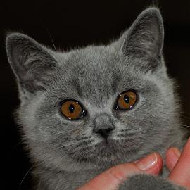 by Bencik Juraj - Animals - Cats Portraits ( cat, show, portrait )