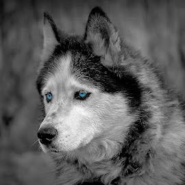 Mr Blue Eye's  by Sue Delia - Animals - Dogs Portraits ( blue eye's, wolf, color splash, hybrid, dog, malamute )