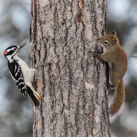 Get your own tree... by Rico Forlini - Animals Other ( red, wildlife photography, canada, nature, tree, hairy woodpecker, red squirrel, wildlife, nature photography, ontario, woodpecker, squirrel )