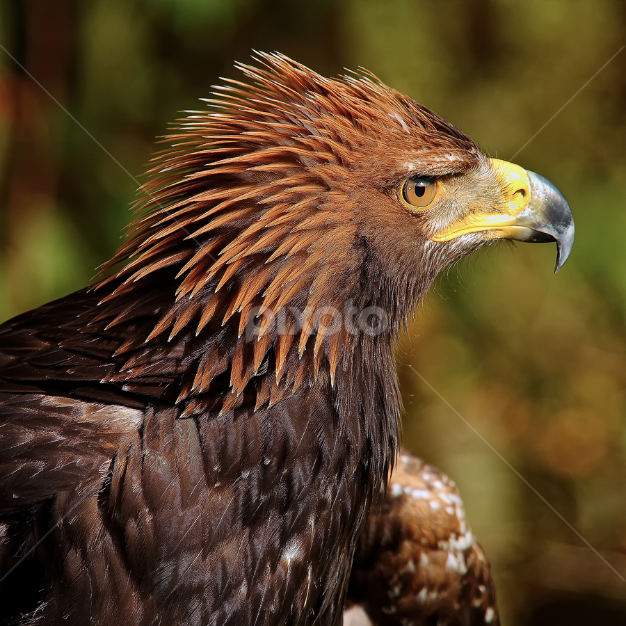 Steppe eagle (Aquila nipalensis) by Gérard CHATENET - Animals Birds