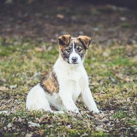 by Radu Cosmin - Animals - Dogs Puppies