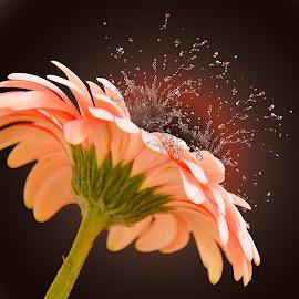 pink gerber by LADOCKi Elvira - Digital Art Things ( flowers, garden )
