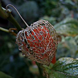 Companionship by Marija Jilek - Nature Up Close Other plants ( physalis alkekeni, nature, companionship, quivers, drops, other plants, leaves )