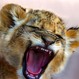 ...and the mighty Lion roared... by Claudia Lothering - Animals Lions, Tigers & Big Cats