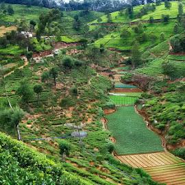 Tea Garden by Abdul Rehman - Landscapes Prairies, Meadows & Fields ( nature, green, travel, siri lanka, lashes, tea, garden )