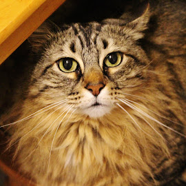 Unsure of Stardom by Tina Stevens - Animals - Cats Portraits ( cat, long hair, table, domestic, mammal, stripe, eyes, cats, brown, striped, feline, tabby, kitty,  )