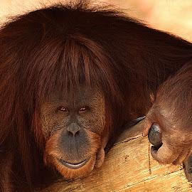 Orangutan Smile II by Shawn Thomas - Animals Other Mammals