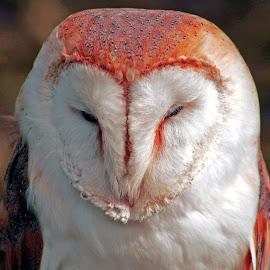 Barn Owl. by Thomas Thain - Animals Birds
