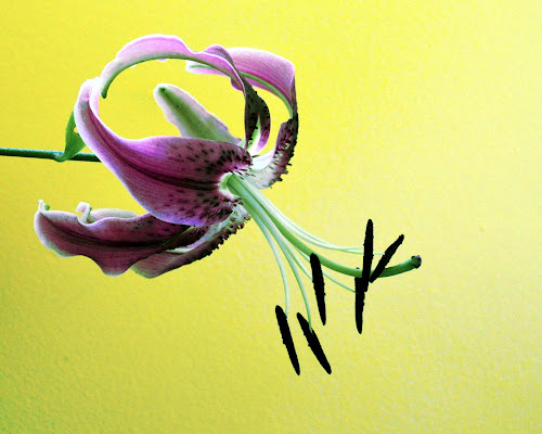 by Teresa Wooles - Flowers Single Flower ( single flower, purple lilly, flower,  )