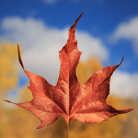Maple Leaf by Gannon McGhee - Nature Up Close Leaves & Grasses ( fall, arizona, tucson, canyon, sabino, leaf, maple )