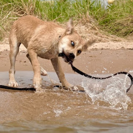 Shake rattle and roll by Fraya Replinger - Animals - Dogs Playing ( water, shake, lake, puppy, beach, dog )