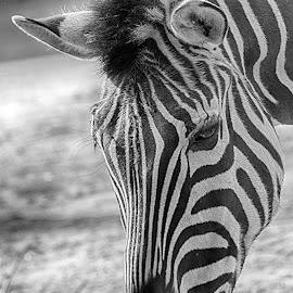 Zebra portrait by Fiona Etkin - Black & White Animals ( animal portrait, black and white, zebra, stripes, animal,  )