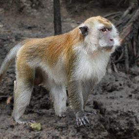 Monkey  by Deep Ocean - Animals Other Mammals ( wild, jungle, wildlife, beauty, monkey,  )