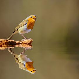 Le cri du rouge gorge by Gérard CHATENET - Animals Birds (  )
