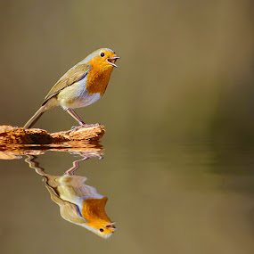 Le cri du rouge gorge by Gérard CHATENET - Animals Birds (  )