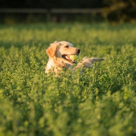 Golden Retriever Retrieving Tennis Ball. by Jacques Jacobsz - Animals - Dogs Playing ( excitement, retriever, warm, freedom, exercise, farmland, space, glow, spring, sun, crop, farm, love, adrenaline, happy, bread, action, best, light, fields, fetch, ball, dry, afternoon, mouth, green, fun, genetics, fodder, born to, female, pet, submerged, ears, clever, fast, dog, low, golden, friend, smart )