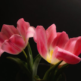 Pink Tulips by Dave Walters - Flowers Flower Arangements ( colors, enchanting, flowers, pink tulips, lumix fz2500 )