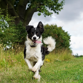 by Sue Lascelles - Animals - Dogs Running