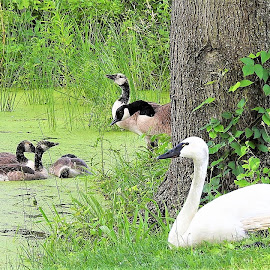 A swan and canada geese at the park by Mary Gallo - City,  Street & Park  City Parks ( animals at the park, nature, swan, nature up close, park, landscape, canada geese and babies,  )