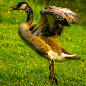 Posing Goose by Chris Mowers - Animals Birds ( michigan, parishfield, geo:lat=42.501010, geo:lon=-83.836880, 0.74  km to parishfield  in michigan united states, geotagged, united states )