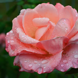 Rain drops on rose by Karen Beetge - Flowers Single Flower