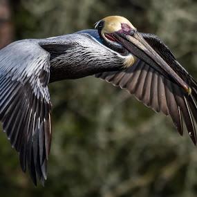 Kiss Me by Shutter Bay Photography - Animals Birds ( bird, bird of prey, nature, nature up close, pelican, bird photography )