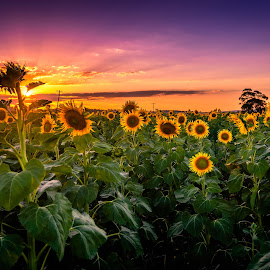 Sunset Sentinels by Alex Bogdan - Flowers Flowers in the Wild ( clouds, colourful, sunflowers, sunset, nikon, landscape, colours, fields )