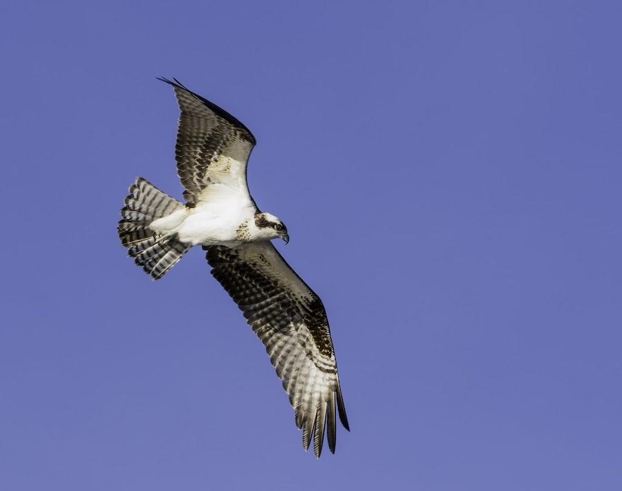 Osprey by Nick Garrett - Novices Only Wildlife ( nature, mandeville, louisiana, lake, swamp, osprey,  )