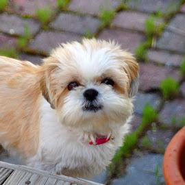 Cassie by Pam Kissner Sheedy - Animals - Dogs Portraits ( canine, cute puppy, shi tzu, puppy, dog )