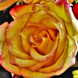 Golden Rose by Bruce Newman - Flowers Single Flower ( natural light, rose, nature, single flower, thanksgiving colors )