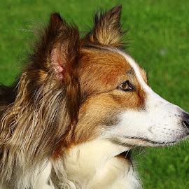 Ruby Profile by Chrissie Barrow - Animals - Dogs Portraits ( sheltie cross, long hair, pet, white, fur, ears, dog, nose, tan, portrait, eye, profile )