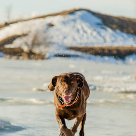 Incoming by Laura Gardner - Novices Only Pets ( labraweimer, rescue dog, winter, ice, airborn, running )