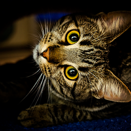 A cat  by Roman Kolodziej - Animals - Cats Portraits ( playing, cat, colours, eyes )