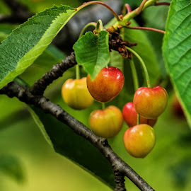 cherries by Eseker RI - Nature Up Close Gardens & Produce (  )