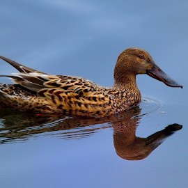 Female northern shoveler. by Francois Wolfaardt - Uncategorized All Uncategorized ( water, bird, reflection, nature, duck, swimming, animal )