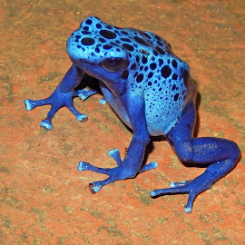 Poison Dart Frog by Dawn Hoehn Hagler - Animals Amphibians ( blue, frog, arizona, tucson, amphibian, tucson botanical gardens, poison dart frog )