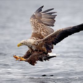 Hunting by Frode Wendelbo - Animals Birds ( birds of prey, white tailed eagle, eagle, hunting, wildlife, fishing, norway, predators )