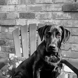 Brown Eyed Bruno by Andrew Robinson - Animals - Dogs Portraits ( chair, puppies, dogs, black and white, adirondack )