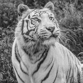 Narnia by Garry Chisholm - Black & White Animals ( white tiger, nature, garrychisholm, smarden, big cat sanctuary )