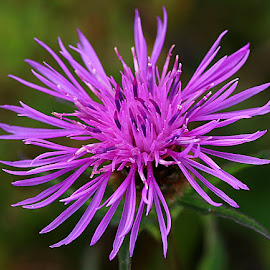Late Knapweed by Chrissie Barrow - Flowers Flowers in the Wild ( stigma, wild, single, stamens, purple, petals, green, bokeh, flower )