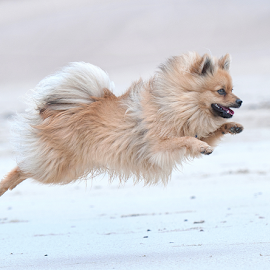 lets go by Michael  M Sweeney - Animals - Dogs Running ( scotland, d3, puppy, michael m sweeney, beach, nikon, dog )