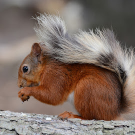 Lil' Stripey Tail by Lesley Hudspith - Animals Other Mammals ( red, fur, tail, squirrel, animal )
