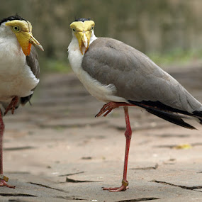 Twins by Deddy Setiawan - Animals Birds