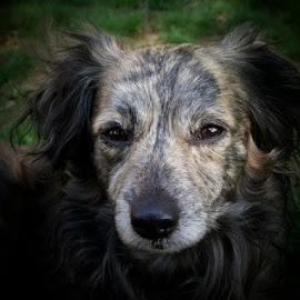 by Lynda Briere San Souci - Animals - Dogs Portraits