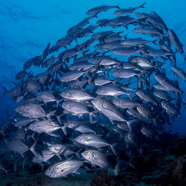 SCHOOL OF JACK FISH by Kong Hon Ping - Animals Fish ( fish, underwater photography, dive, scuba, ocean life )