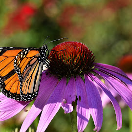 Monarch butterfly on purple coneflower by Yani Dubin - Animals Insects & Spiders (  )