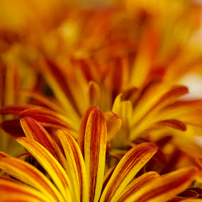 Colourful by Gabrielle Libby - Nature Up Close Flowers - 2011-2013 ( macro, red, shallow, focus, yellow, flower, close )