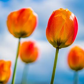 Tulips by Nigel Bishton - Flowers Flower Gardens ( tulips )